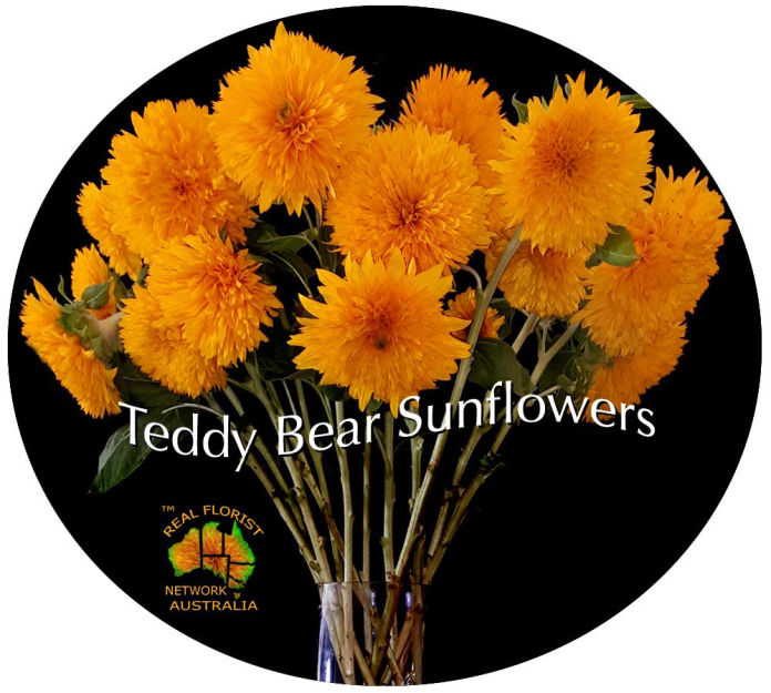 Teddy Bear Sunflowers 12 delivered in vase for $89.00